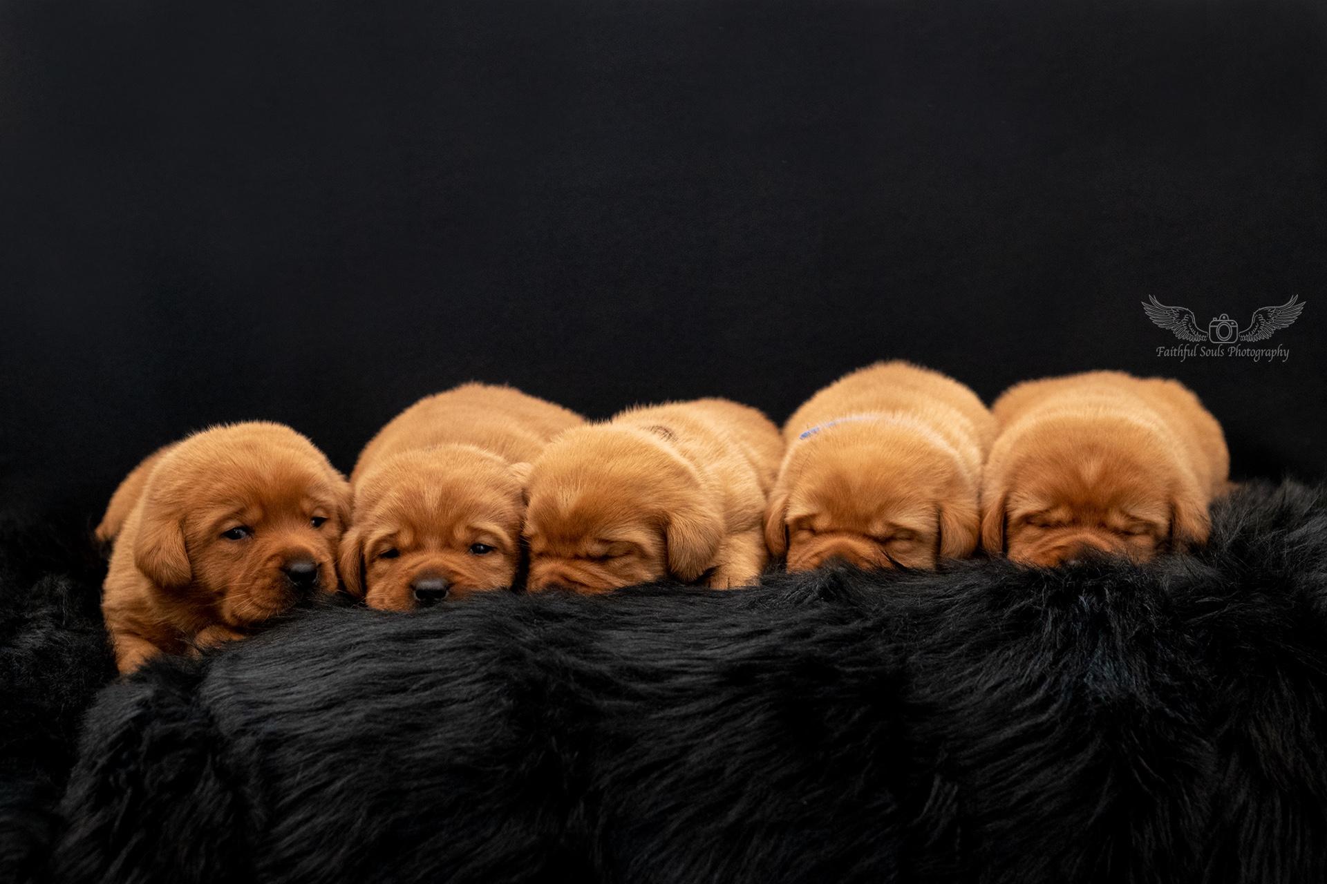 Labradore vom Sirius - Welpen