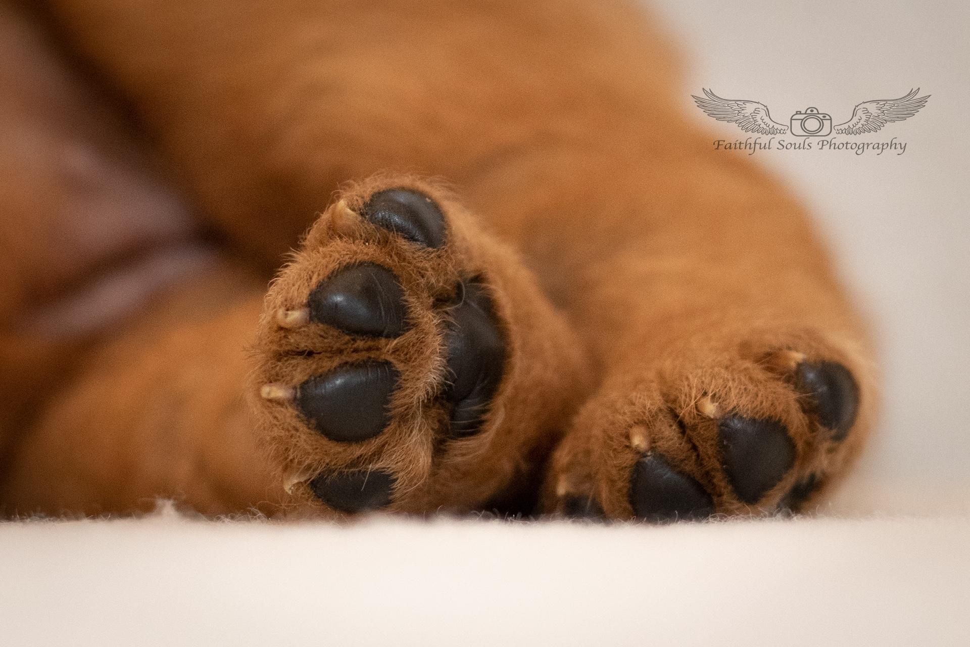 Labradorwelpen vom Sirius -Fifficats